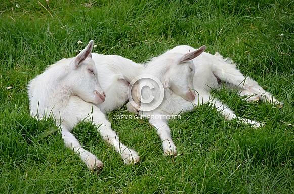 Twin Goat Kids Asleep