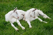 Twin Goat Kids Asleep