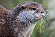 Asian Short-Clawed Otter (Amblonyx cinerea)