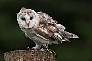 Barn Owl Full Body Shot on Tree Stump. Feathers Blowing.