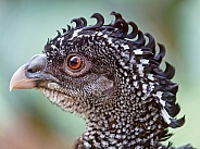 Female Great Curassow