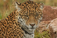 Young Jaguar Close Up