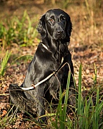 Working Flat Coated Retriever Bitch