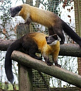 Yellow-Throated Martens