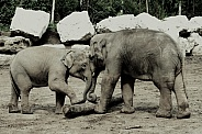 Baby Elephants Playing With A Tree Trunk