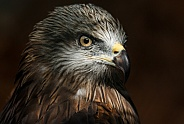 Black Kite, Close up