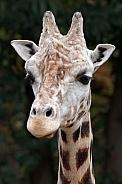 Giraffe (GIRAFFA CAMELOPARDALIS ROTHSCHILDI)