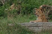 Lion Cub Resting Against Log, Paw On Log