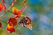 Gulf Fritillary Butterfly on Bird of Paradise