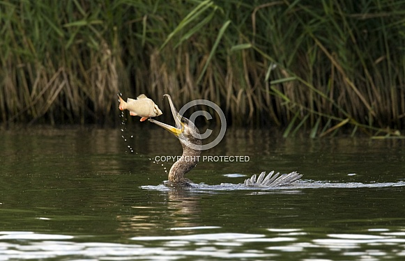 Great Cormorant (phalacrocorax carbo) catching a fish