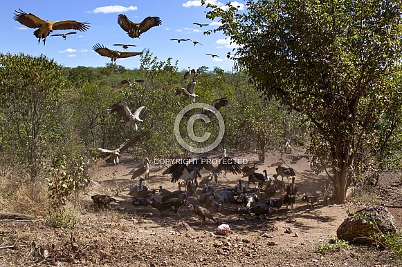 African vultures at a kill