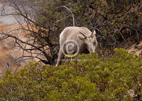 Desert Bighorned Sheep, Ovis canadensis nelsoni