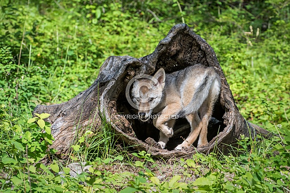 Coyote Pup in Hollow Log