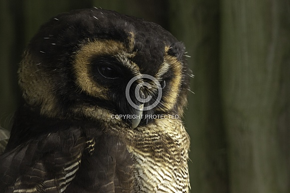 Brown Wood Owl, Close up