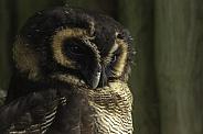 Brown Wood Owl, Close up