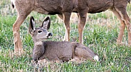 Wild mule deer mother and fawns