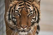 Malayan Tiger Close Up Face Shot