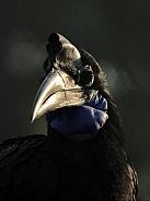 Northern hornbill
