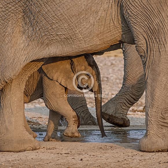 Baby Elephant (wild)