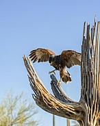 Harris Hawk landing on Saguaro Skeleton