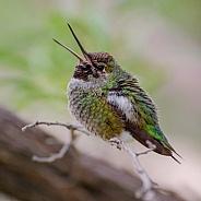 Hummingbird Song