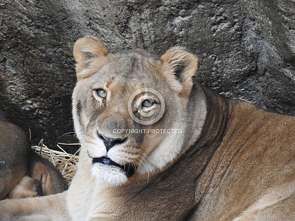 Lioness closeup