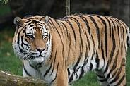 Amur Tiger Guarding
