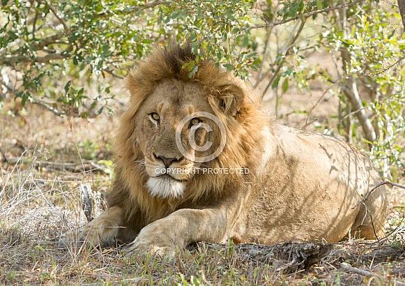 Lion Kruger National Park SA (Wild)