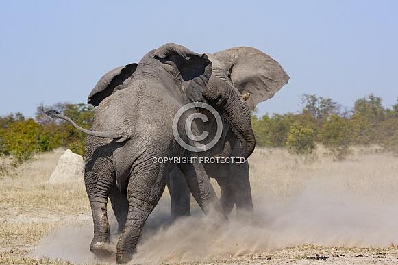 Two African Bull Elephants fighting