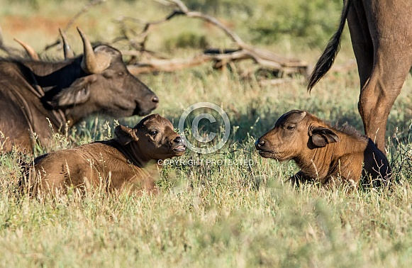 Two African Buffalo Calves