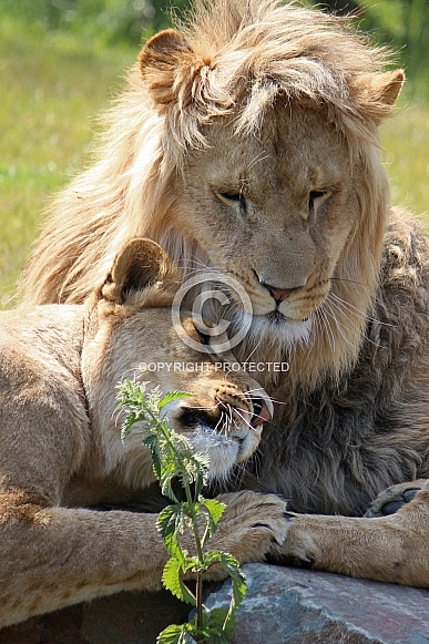 African lions, love