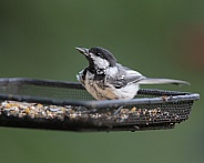 Black-Capped Chickadee with a black oil sunflower seed