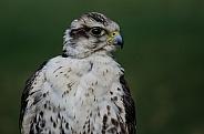 Lugger Falcon