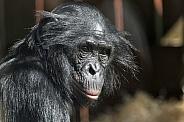 Bonobo Close Up