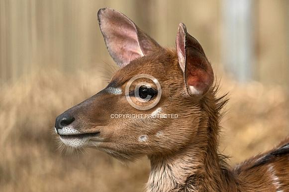 Nyala Antelope Side Profile