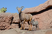 Bighorn Lamb and Ewe