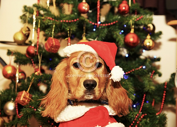 Christmas Cocker Spaniel with Christmas Tree