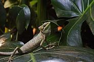 Cone Headed Lizard