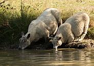 Ewe and Mature Lamb Drinking at a Lake