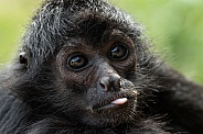 Spider Monkey Sticking Tongue Out