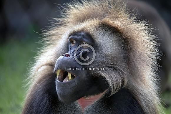 Bleeding heart monkey (gelada theropithecus)