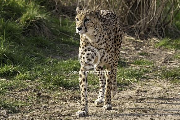 Cheetah Full Body Walking Towards Camera