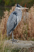 Grey Heron Standing Tall