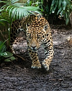 Stalking Jaguar