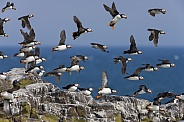 A flock of Puffins take to the air