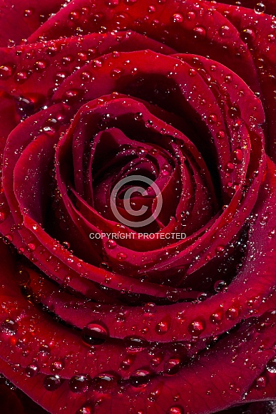 Red Rose - close up