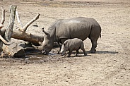 White rhinoceros mother and calf