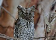 Scop's Owl