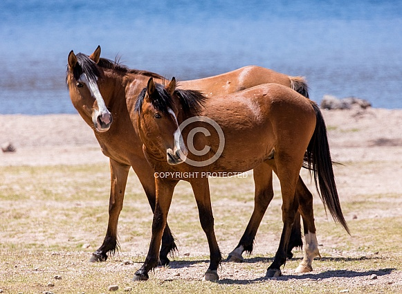 Two wild horses by the water in Arizona