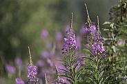 Alaskan Fireweed in Full Bloom